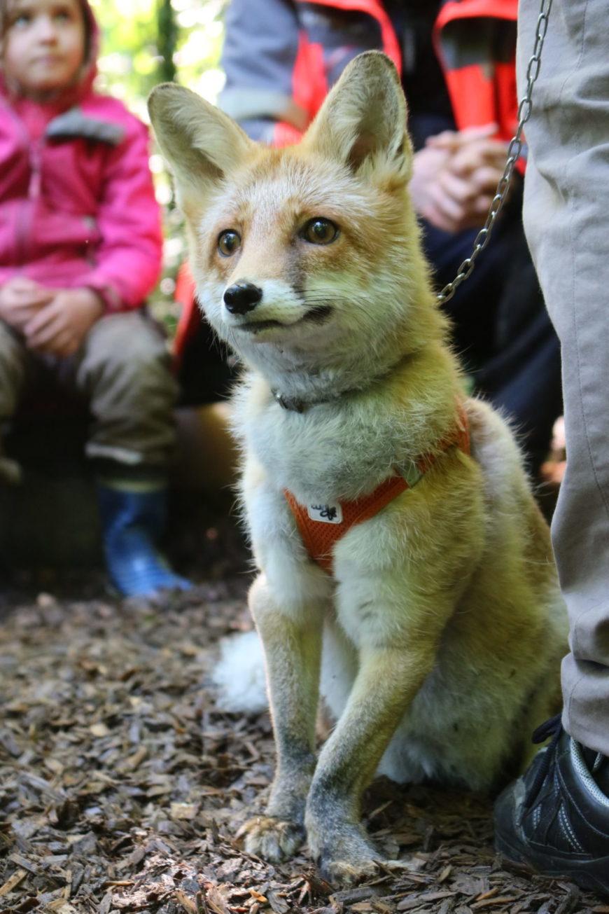 Der Fuchs geht um!